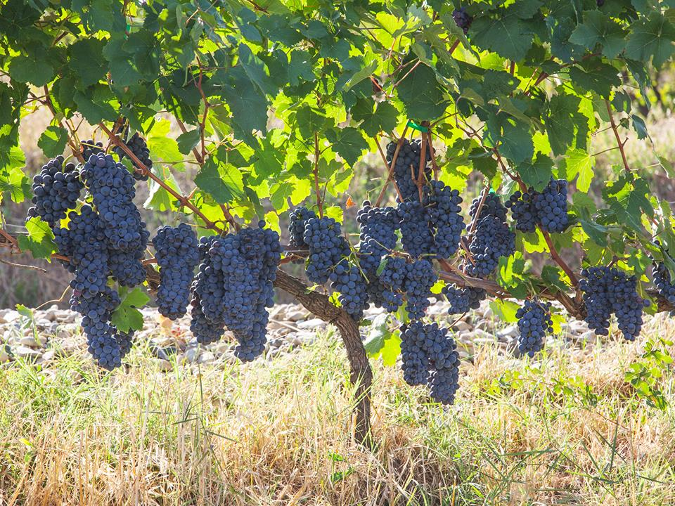 Prima e dopo la vinificazione moderna: l'evoluzione del gusto del vino in Piemonte e alla corte sabauda