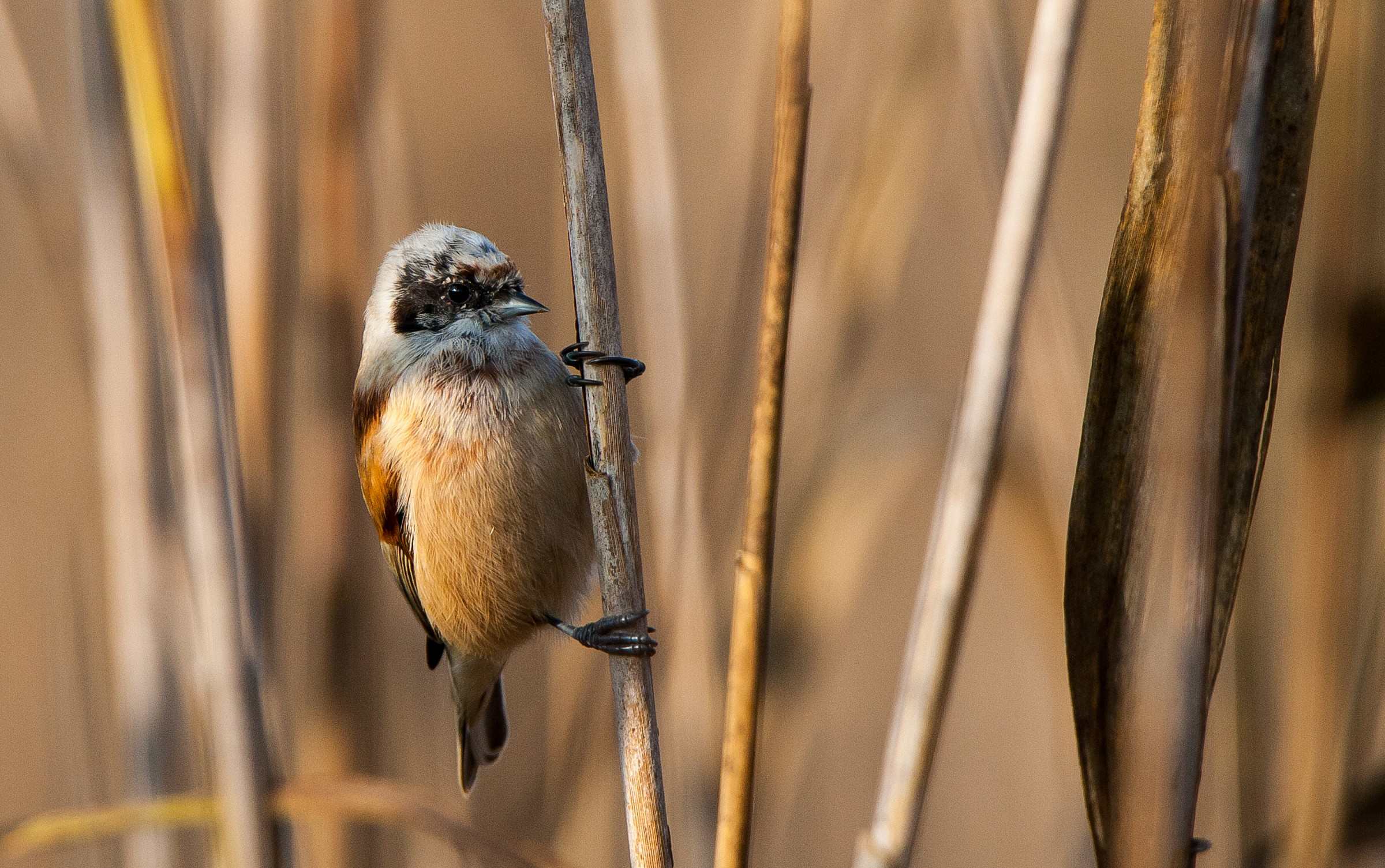 Lago di Candia, potenziata l'attività ornitologica