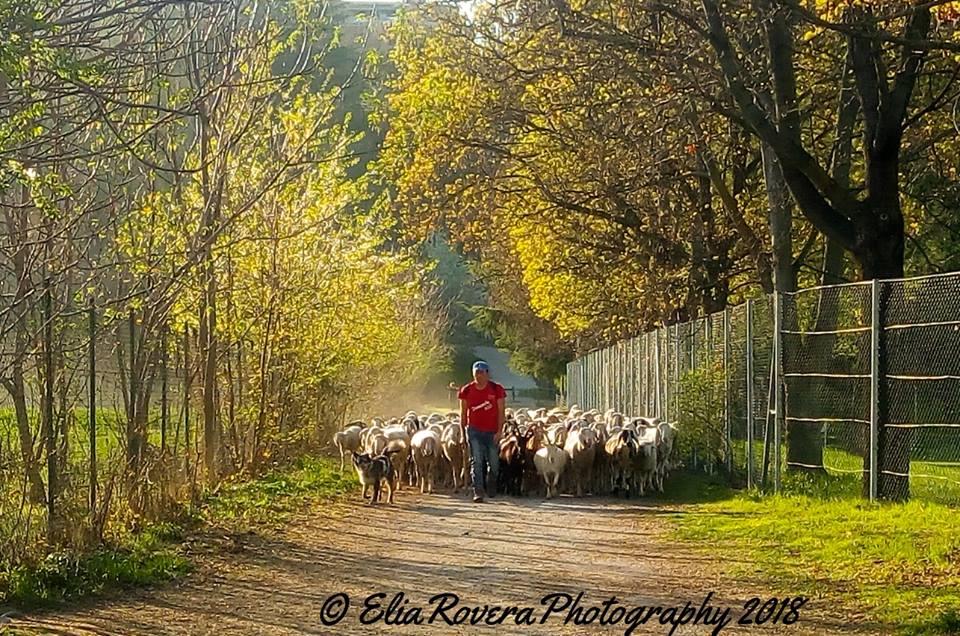Cuneo, torna il pascolo al Parco Fluviale Gesso e Stura