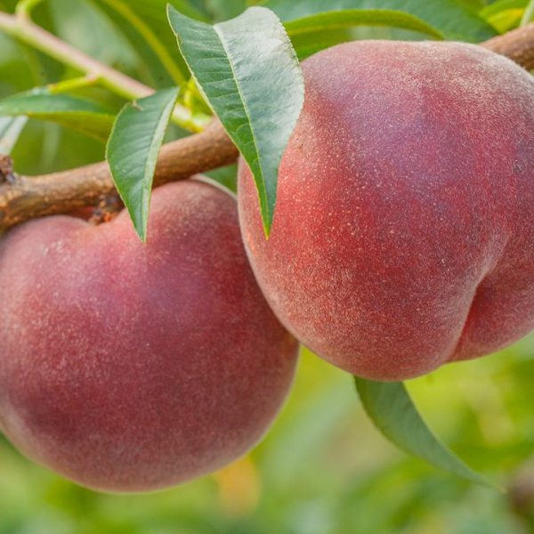 Quando i nomi dei frutti in piemontese ne richiamano l'antica origine: l'armognan dall'Armenia e il persi dalla Persia – I parte