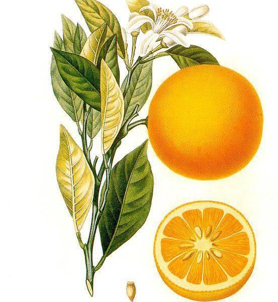Quando i nomi dei frutti in piemontese ne richiamano l'antica origine: il portugal dai navigatori portoghesi e il darmassin dalla siriana Damasco – II parte