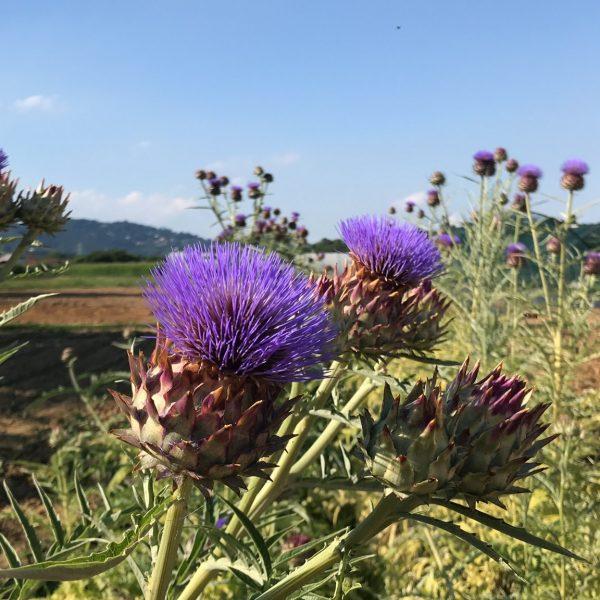 La fioritura dei cardi nelle campagne piemontesi
