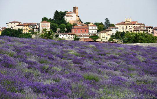 Giugno, la lavanda in fiore nei campi del Piemonte